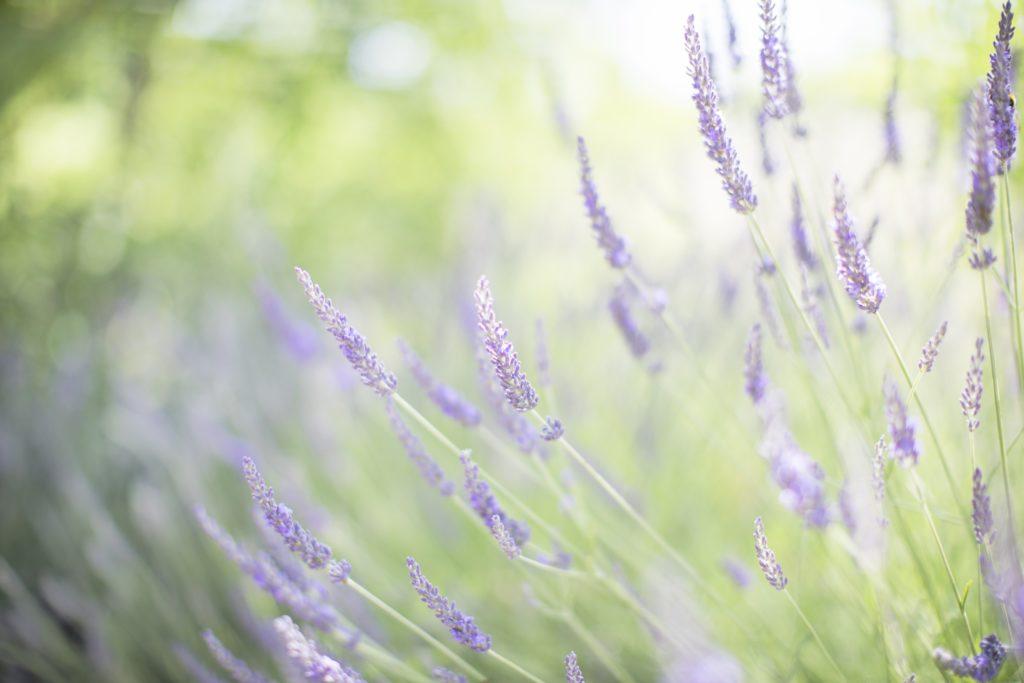 La lavande de la Provence
